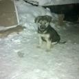 бесплатно  щенки-в ответственные руки, Новосибирск
