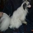 подрощенный мальчик паудерпуф (собака), Новосибирск