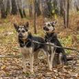 мини-овчарки Лэсси и Нэнси, Новосибирск
