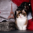 котенок Франция, Новосибирск