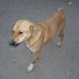 Преданная собака Лайма в добрые руки, Новосибирск