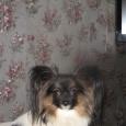 мини мальчик папийончик (собака), Новосибирск