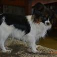 Кобель папийона  (собака), Новосибирск