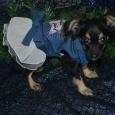 щенок длиношерстного тоя, Новосибирск