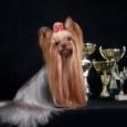 Йорк-девочка 4,5 мес. (собака), Новосибирск