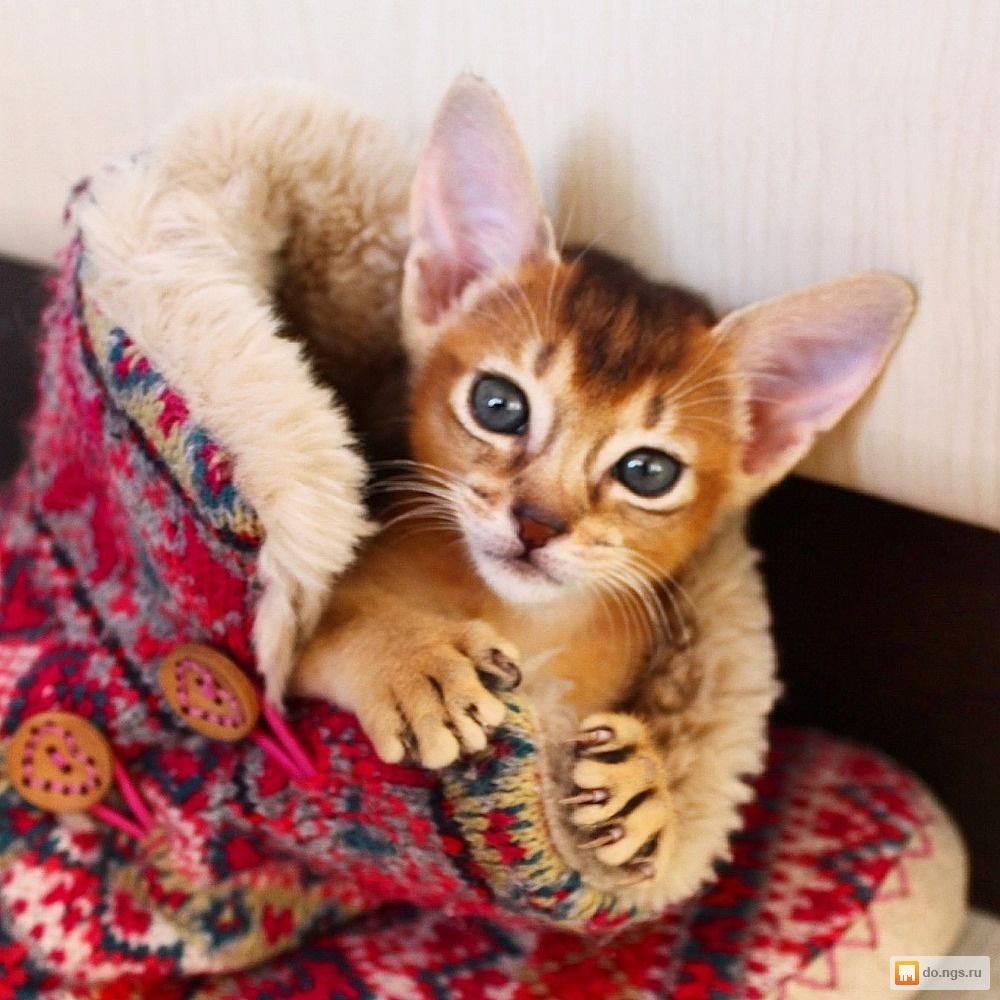 Кошки и котята породы Мейн-кун - купить из питомников и ...