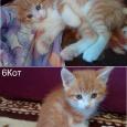 Котята метисы курильского бобтейла, Новосибирск