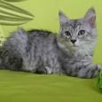 Серебряные котята, Новосибирск
