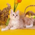 курильский бобтейл Еврик (котенок), Новосибирск