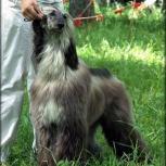 Потерялась собака Афганская борзая, Новосибирск