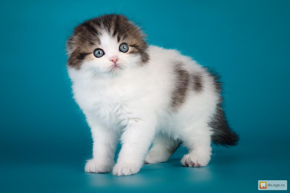 шотландские вислоухие котята в 3 месяца фото