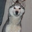Серо-белый мальчик щенок, Новосибирск