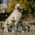 Щенки золотистого ретривера от интерчемпиона, чемпиона 12 стран!, Новосибирск