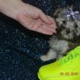 щенок золотой болонки, Новосибирск