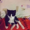 Отдам котёнка Бобтейла, Новосибирск