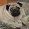 Хорошенькая девчушка Мопса :) щенок, Новосибирск
