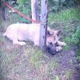 Отдам щенка овчарки, Новосибирск