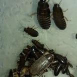 Мраморные тараканы (кормовые насекомые), Новосибирск