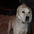 Собака Азиат ищет хозяина!, Новосибирск