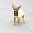 Чистокровный Той щенок, Новосибирск