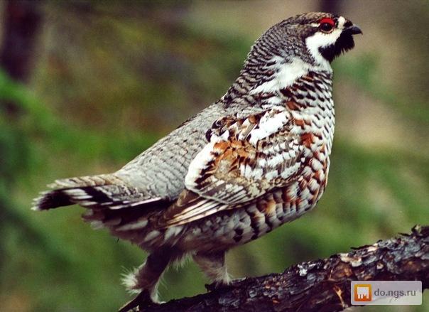 тетерка фото птицы