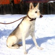 Отдам собаку похожую на овчарку в добрые руки, Новосибирск