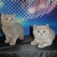 Крупные британцы из питомника (котята), Новосибирск