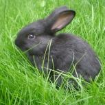 Продам молодых кроликов, Новосибирск