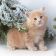 Котёнок Лохматая Гора. Нежная сила!, Новосибирск