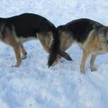 Инструктор по вязкам собак и приему родов, Новосибирск