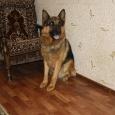 опытные кобели немецкой овчарки для вязки за щенка, Новосибирск