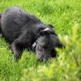 Отличный пес-компаньон, возможно помесь с дратхаром, Новосибирск
