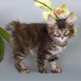 """Wasilisa Favorit Tails. """"Василиса Премудрая"""". Продам котенка, Новосибирск"""