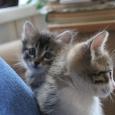 Котята от породистой кошки, Новосибирск