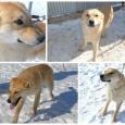 щенок Златик, Новосибирск