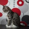 В продаже кот Еремей Дикий Охотник, Новосибирск