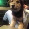 Отдается щенок -помесь с терьером 3,5месяца, Новосибирск