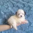 мини девочка болоночка (щенок), Новосибирск