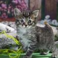 Котята курильского бобтейла, Новосибирск