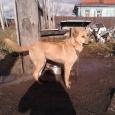 Отдам щенка от Немецкой овчарки, Новосибирск