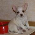 Чихо-девочка щеночек, Новосибирск
