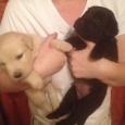 Продам щенков лабрадора, Новосибирск