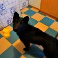 Джукас щенок, Новосибирск