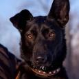 Молодая собака ищет хозяев, Новосибирск
