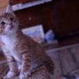 Котята от матери курильского бобтейла, Новосибирск