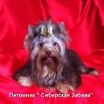 Щенок кобель шоколадного йорка, Новосибирск