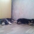 Василиса и Тучка ищут ответственных хозяев (щенки), Новосибирск
