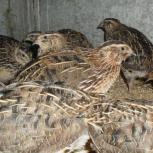 Цыплята, перепелята, перепелки, Новосибирск