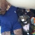 Отдам щенка немецкой овчарки в добрые руки, Новосибирск