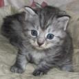 шикарные чистокровные котята курильского бобтейла, Новосибирск